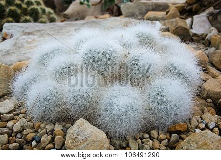 Little hairy ball shaped cactus closeup