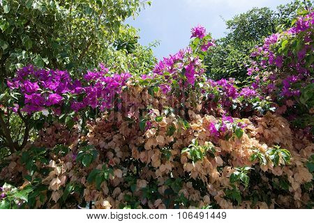 Bougainvillea Phases