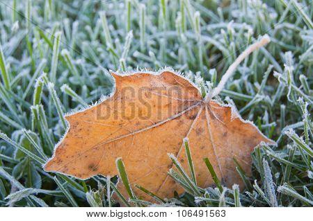Frosty autumn maple leaf