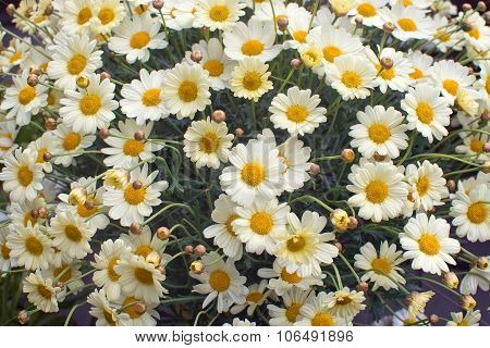 Yellow Oxe-eye Daisy May Flowers