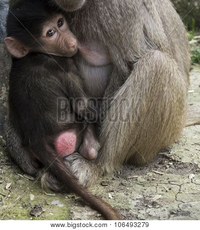 breast feeding monkey cub