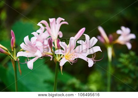 Lycoris Squamigera Flowers