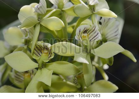 Lined Petal Prosthechea Orchid