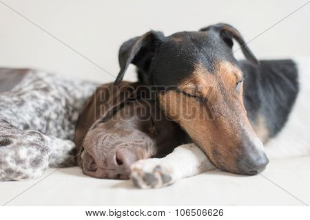 Two cute dog sleeping together