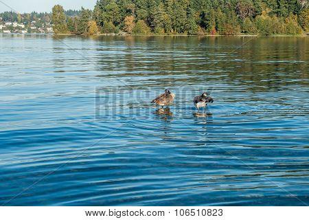 Lake Washington - Geese 2