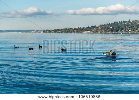 Lake Washington - Geese 3