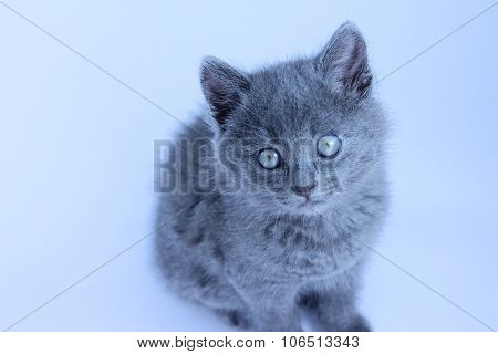 Little grey kitty