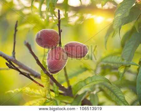 Ripe peaches growing on tree in garden at sunset. Shallow DOF, copyspace.
