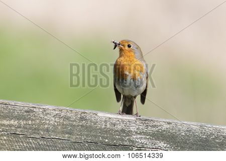 European Robin With Insects
