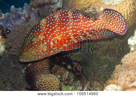 Coral Hind Is Underwater In Red Sea