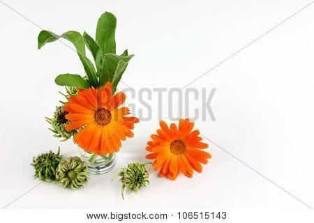 Calendula Officinalis Flower, Marigold