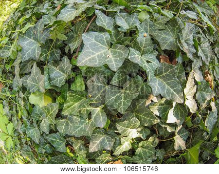Green Ivy Plant Background