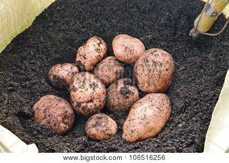 Qrganic Potatoes Grown In A Garden