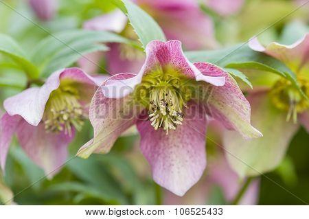 Cornus Pink Flowers