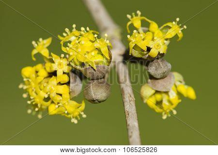 Cornus Mas, Cornelian Cherry, European Cornel, Dogwood Yellow Flowers