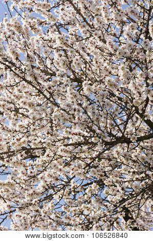 Japanese Cherry Tree Flowers In Full Bloom
