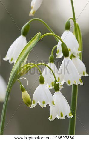 Leucojum Vernum, Spring Snowflake, Flowers