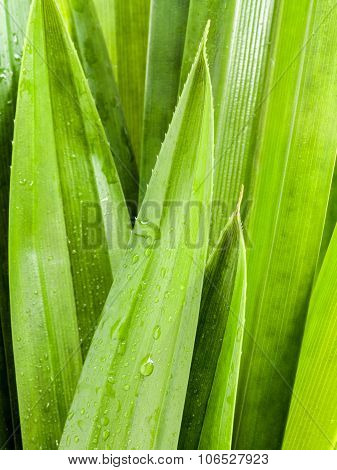 Thai Herbal Ingredient Spas Pandanus Leaf,sweet And Earthy Aroma .
