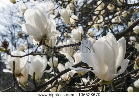 Flowers Of White Magnolia