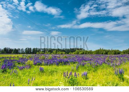 Field Of Blue Lupines Against The Blue Sky.
