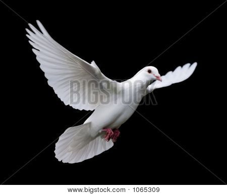 White Dove In Flight 7