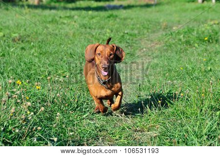 The dog is running. Dog breed standard smooth-haired dachshund, female.