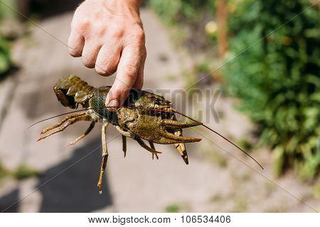 man holding wild Signal crayfish