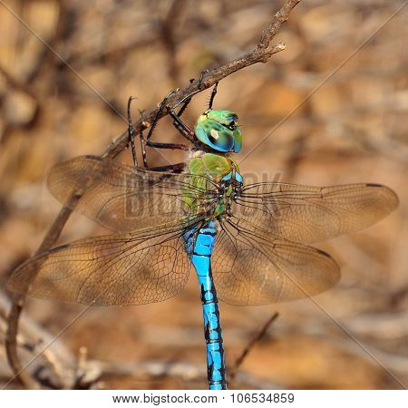 Great blue dragonfly anax imperator