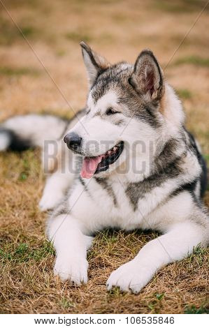 Close up portrait of young Happy Alaskan Malamute Dog