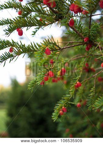 European Yew Tree