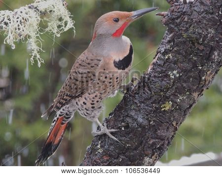 Male Northern Flicker.