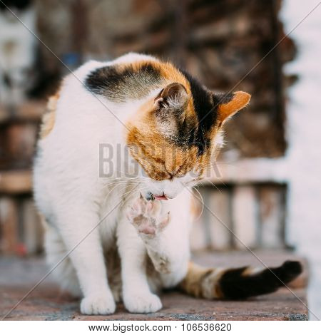 Mixed Breed White and Red Cat Lick Washes Itself
