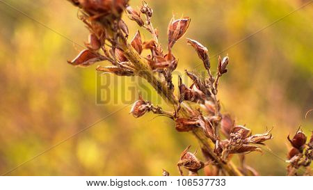 Dried Bush Clover Blooms and Seeds on Stalk.