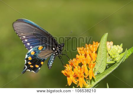 Pipevine Swallowtail butterfly on orange butterflyweed