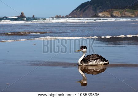 Western Grebe Seabird
