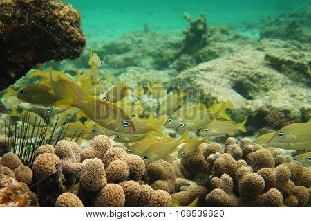 School of Yellow French Grunt Fish