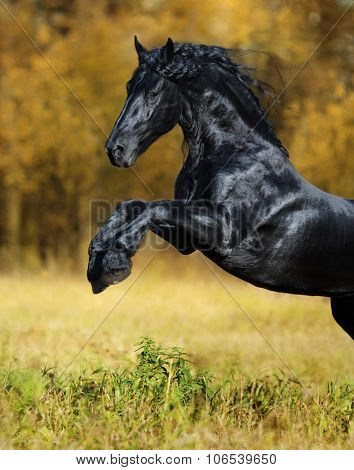 The black stallion of the Friesian breed play in the gold autumn wood