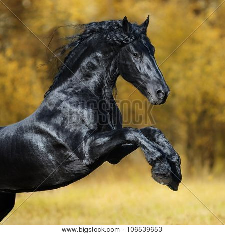 The black Friesian stallion play in the gold autumn wood
