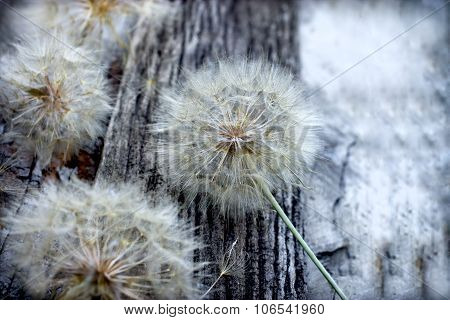 Beautiful dandelion seeds - fluffy blowball