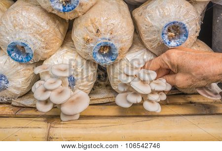 Old Woman Hand Picking Pleurotus Sajor-caju Mushroom In Farm
