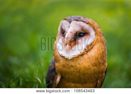 Tyto Alba - Close Up Portrait Of A Barn Owl