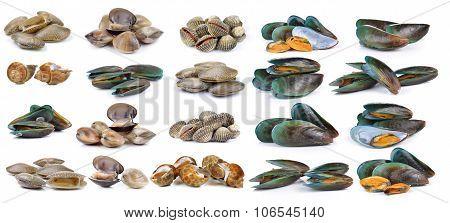 Enamel Venus Shell, Clam Shellfish, Surf Clam, Mussel,  Spotted