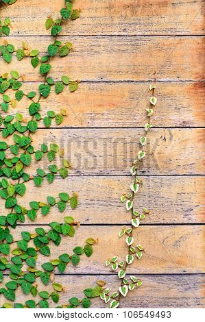 Wood Wall Covery By Ivy Plant