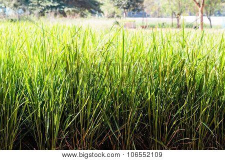 Rice plantation fields captured on a sunny day