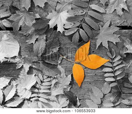 Orange leaf amongst black and white autumn leaves