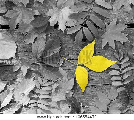 Yellow leaf amongst black and white autumn leaves