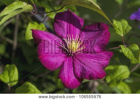 Magenta Burgundy Clematins Blossom