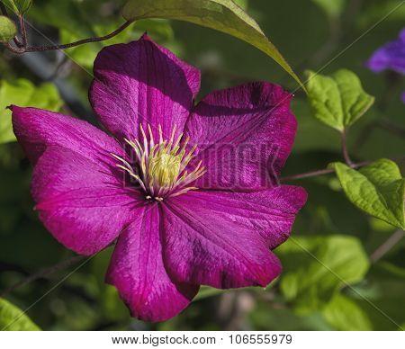 Magenta Pink Clematis Blossom