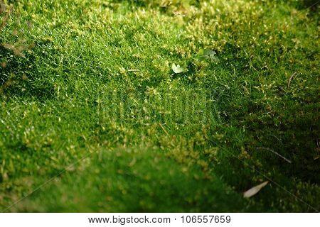 Alpine Pearlwort