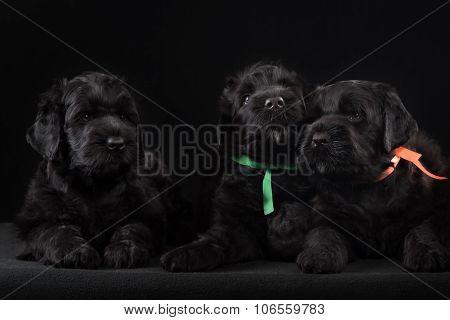 three puppy big black terrier